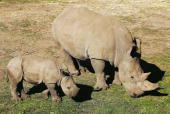 'Kei' a three month old Southern White Rhino calf relaxes with his mother 'Umqali' in his new enclosure at Western Plains Zoo May 12 2006 in Dubbo...