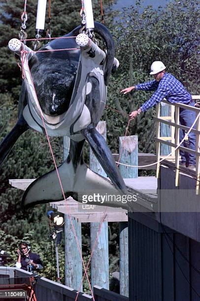 Keiko the killer whale star of the 'Free Willy' movie is weighed as he is loaded into his specially made transport tank at the Oregon State Aquarium...