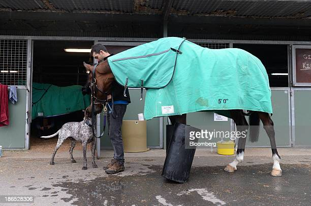 Kelinni a Melbourne Cup race contender rests his legs in ice as his handler greets a dog following morning trackwork at Flemington Racecourse venue...