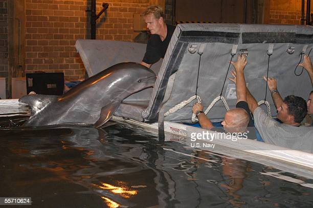 Kelly an Atlantic Bottlenose Dolphin displaced when hurricane Katrina destroyed her home at the 'Marine Life Oceanarium' is carefully placed in a...