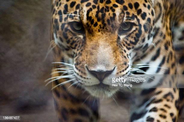 Kelowo Jaguar