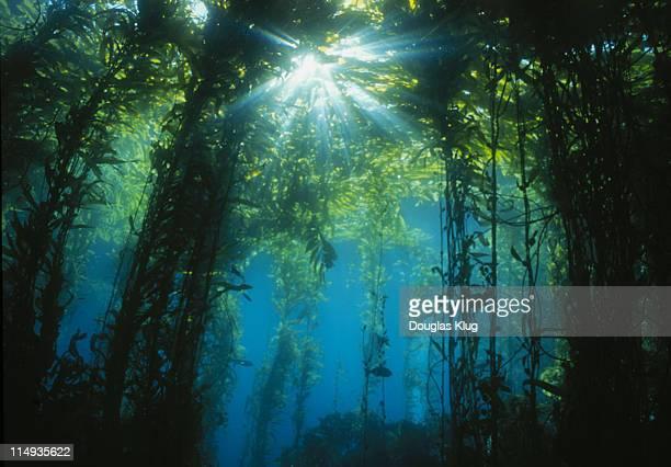 kelp Sunburst shot