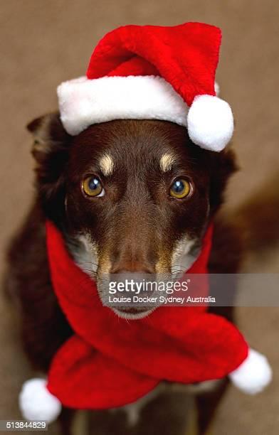 Kelpie dressed in santa hat & scarf