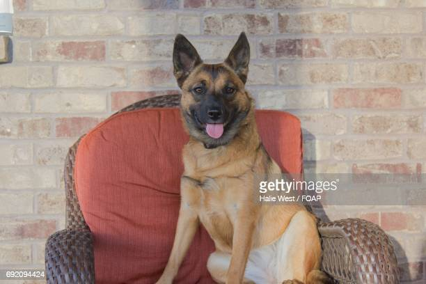 Kelpie puppy on chair at home