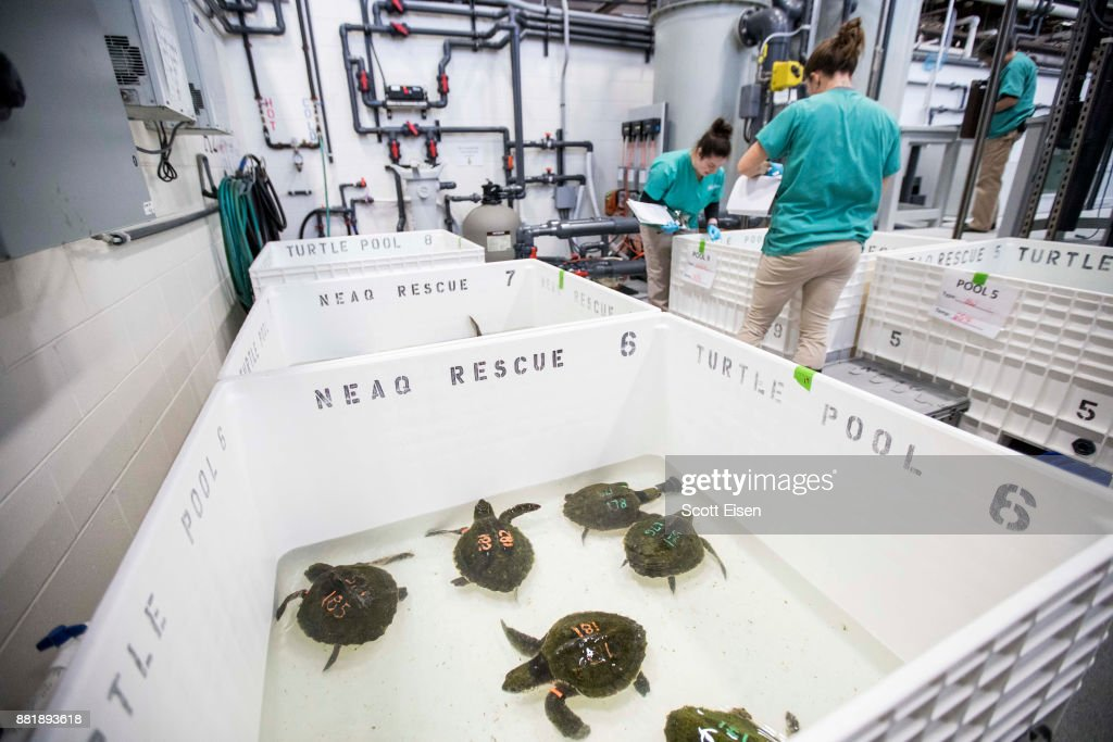 Researchers hope that by flying the rescued turtles from New England to wildlife centers further south (in North Carolina, for example) the turtles might recover and eventually return to the wild. Kemp's ridley turtles are among the smallest of sea turtles; adults reach about two feet in length and weigh up to 100 pounds. By comparison, leatherback turtles can weigh up to 2,000 pounds and can clock in at six feet long.