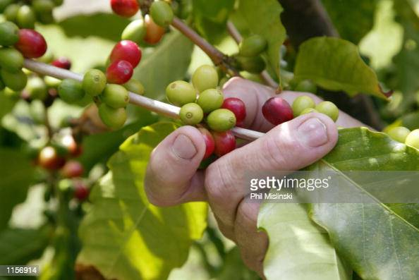 Ken Shepard hand picks ripe Kona coffee beans at the Dragon's Lair Coffee Estate July 20 2002 in Kona Hawaii Researchers at Oahu based Integrated...
