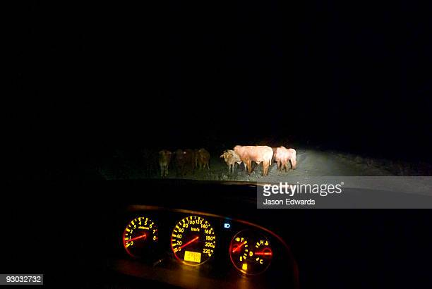 Cattle grazing along remote Outback roads pose great danger to cars.