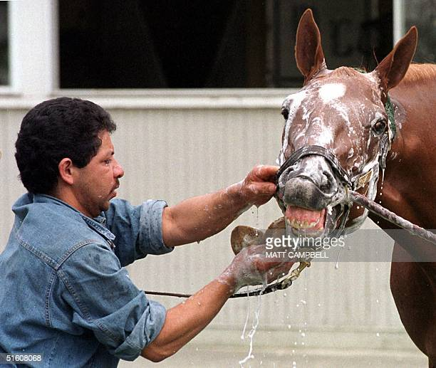 Kentucky Derby and Preakness winner Charismatic bares his teeth as he is bathed by groomer Caesar Arredondo at Belmont Racetrack 02 June 1999 in...