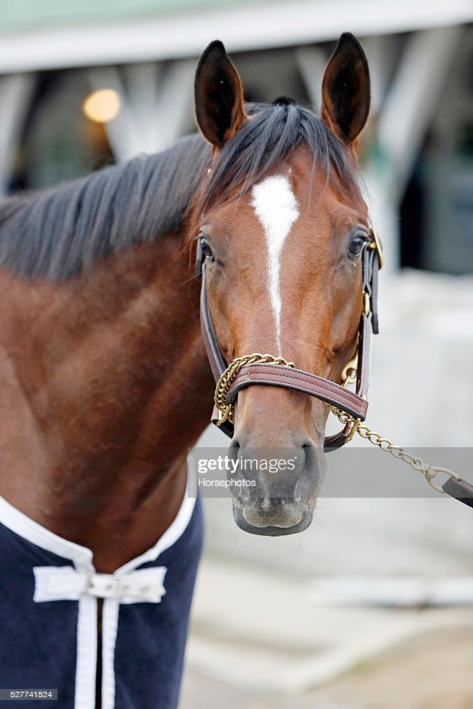 Kentucky Derby contender Brody's Cause in portrait at Churchill Downs Race Track on May 3, 2016 at Churchill Downs in Louisville, Kentucky.
