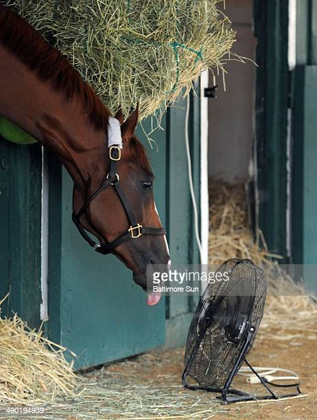 Kentucky Derby winner California Chrome enjoys some air as he leans toward a fan near his stall at Pimico Race Course after a morning workout amid...