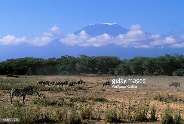 Kenya Amboseli National Park Wildebeeste Zebras With Mt Kilimanjaro In Background