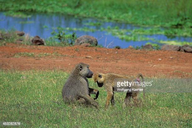 Kenya Amboseli National Park Yellow Baboons Male Female