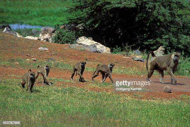 Kenya Amboseli National Park Yellow Baboons