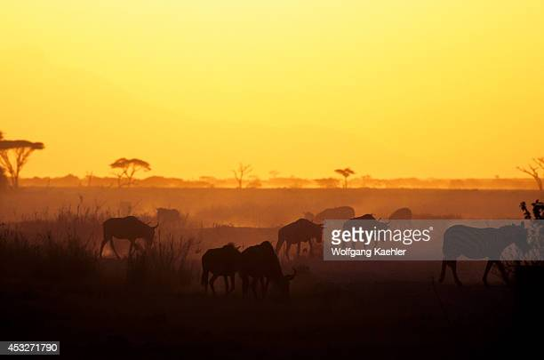 Kenya Amboseli National Park Zebras And Wildebeeste At Sunset