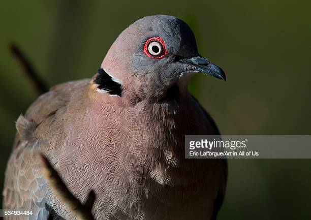 Kenya Baringo County Lake Baringo mourning collared dove