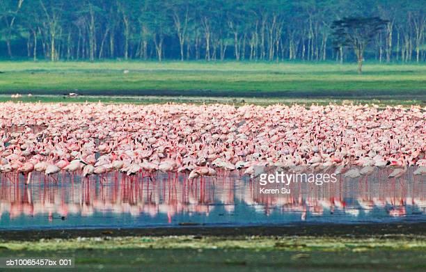 Kenya, Lake Nakuru, Lesser Flamingoes (Phoenicopterus minor)