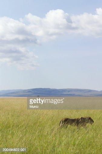 Kenya, lioness (Panthera leo) on savannah, side view : Stock Photo