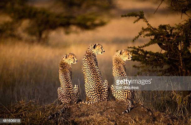 Kenya Masai Mara Cheetah with two cubs sitting on a mound with all three looking to the right