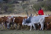Kenya, Masai Mara National Reserve, tribesman herding cattle