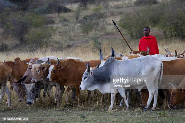 Kenya, Masai Mara National Reserve, tribesman herding cattle