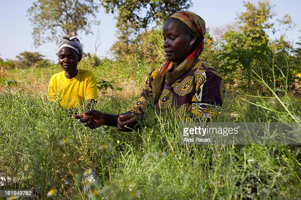 Kenya, Meru, harvesting chamomile