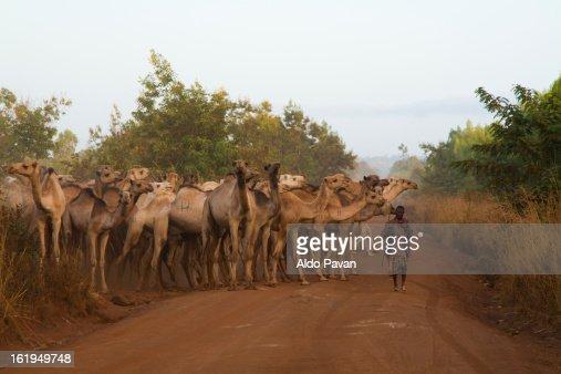Kenya, Meru, herd of camels : Stock Photo