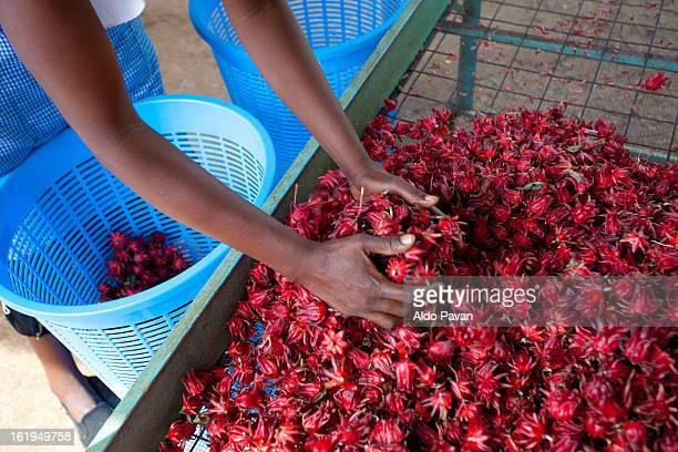 Kenya, Meru, Meru Herbs factory, hibiscus