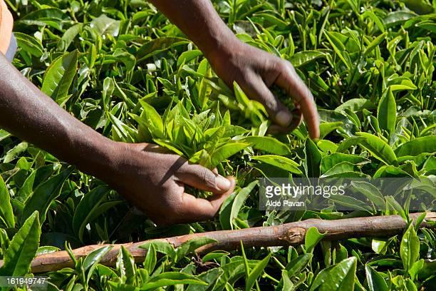 Kenya, Meru, tea picking