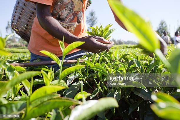 Kenya, Meru, tea picking