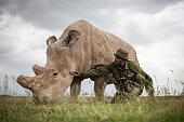 CONSERVANCY Kenya Mohammed Doyo head caretaker spends time with Fatu a northern white rhino female With just five northern white rhinos left on earth...