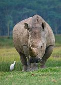 Kenya, Nakuru, Stork with White Rhino (Ceratotherium simum) on grass