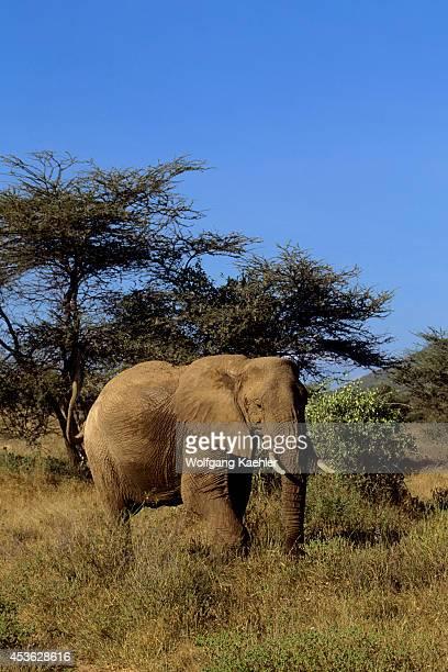Kenya Samburu Elephant
