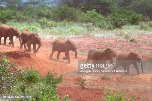 Kenya, Tsavo National Park, adopted baby African Elephants at David Sheldrick Wildlife Trust