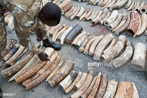 A Kenya Wildlife Service Ranger inspects and numbers a confiscated ivory consignment at the Mombasa Port on October 8 2013 The Kenya Ports Authority...