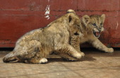 Kenya Wildlife service rangers Juma Baraka and Samuel Induare examine a twomonthold lion cub on June 72012 in a quarantine room of the Kenya Wildlife...