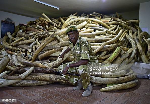 Kenya Wildlife Services Director General Kitili Mbathi poses in a secure ivory stock room in Nairobi on March 21 2016 One of Kenyas most prominent...