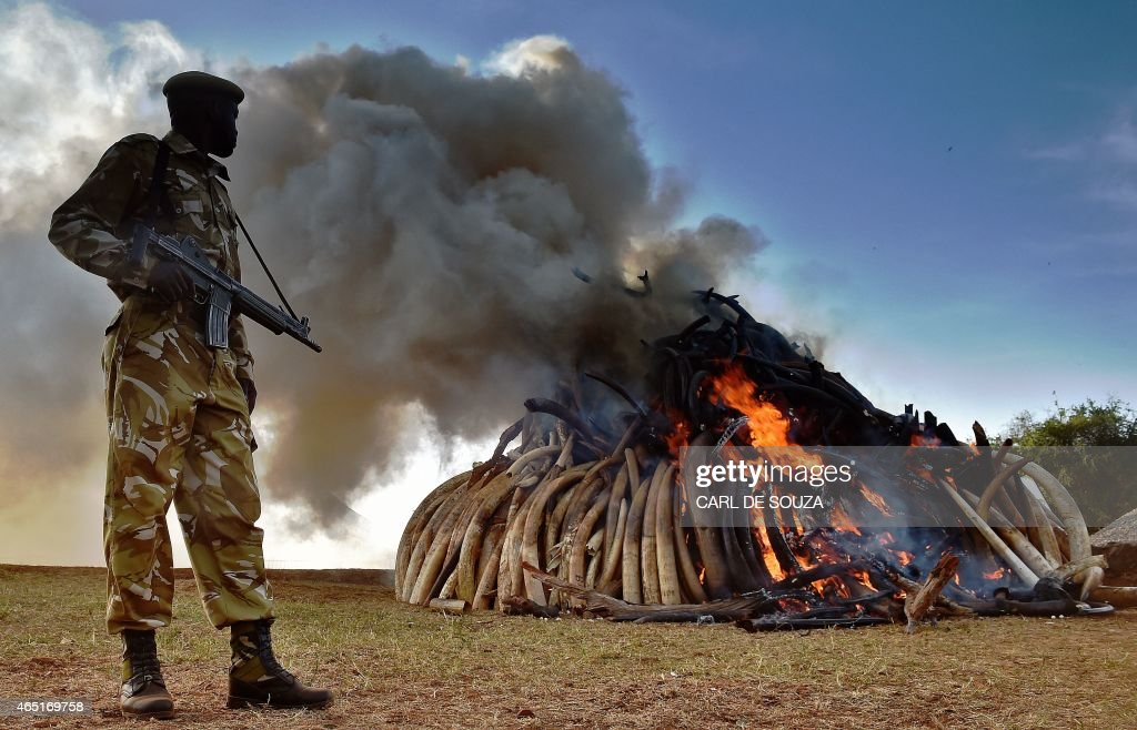 A Kenya Wildlife Services (KWS) officer stands near a burning pile of 15 tonnes of elephant ivory seized in kenya at Nairobi National Park on March 3, 2015. 15 tonnes is the largest amount of contraband ivory burned in Africa to date. The pile was offically burned by Kenyan President Uhuru Kenyatta to mark World Wildlife Day and African Environment day. An average of 30,000 elephants are poached every year in Africa. AFP Photo/Carl de Souza