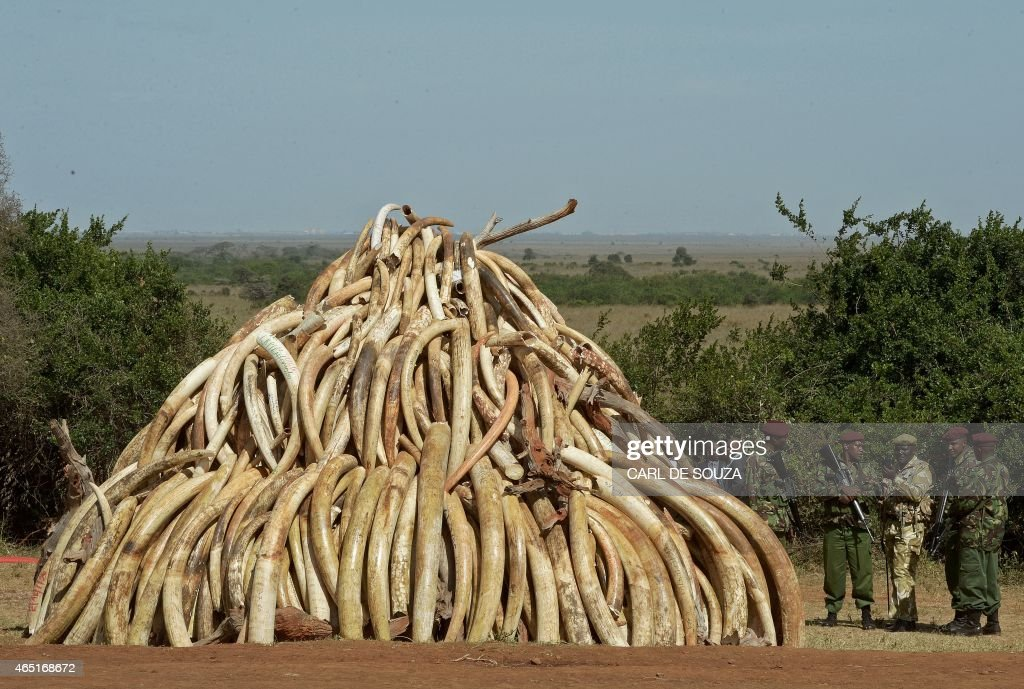 Kenya Wildlife Services (KWS) officers stand near a pile of 15 tonnes of elephant ivory seized in Kenya at Nairobi National Park on March 3, 2015. 15 tonnes is the largest amount of contraband ivory burned in Africa to date. The pile was offically burned by Kenyan President Uhuru Kenyatta to mark World Wildlife Day and African Environment day. An average of 30,000 elephants are poached every year in Africa. AFP Photo/Carl de Souza