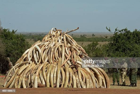 Kenya Wildlife Services officers stand near a pile of 15 tonnes of elephant ivory seized in Kenya at Nairobi National Park on March 3 2015 15 tonnes...