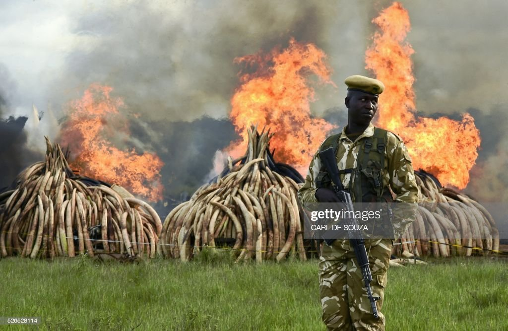 A Kenya Wildlife Services (KWS) ranger stands guard around illegal stockpiles of burning elephant tusks, ivory figurines and rhinoceros horns at the Nairobi National Park on April 30, 2016. Kenyan President Uhuru Kenyatta set fire on April 30, 2016, to the world's biggest ivory bonfire, after demanding a total ban on trade in tusks and horns to end 'murderous' trafficking and prevent the extinction of elephants in the wild. / AFP / CARL