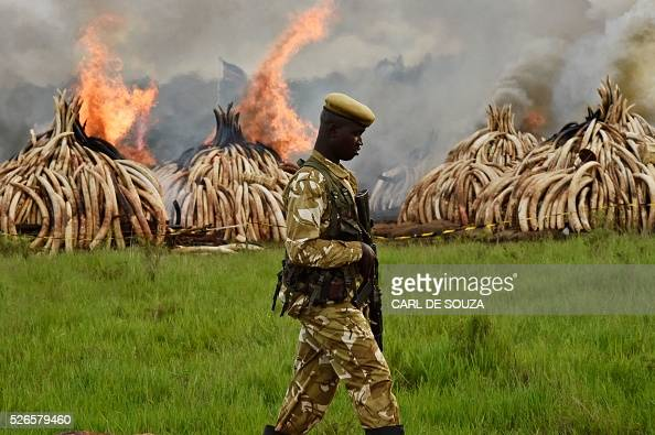 A Kenya Wildlife Services ranger stands guard around illegal stockpiles of burning elephant tusks ivory figurines and rhinoceros horns at the Nairobi...