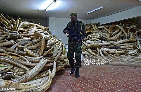 Kenya Wildlife Services ranger walks through a secure ivory stock room in Nairobi on March 21 2016 One of Kenyas most prominent conservationists Dr...