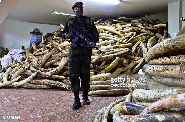 A Kenya Wildlife Services ranger walks through a secure ivory stock room in Nairobi on March 21 2016 One of Kenyas most prominent conservationists Dr...
