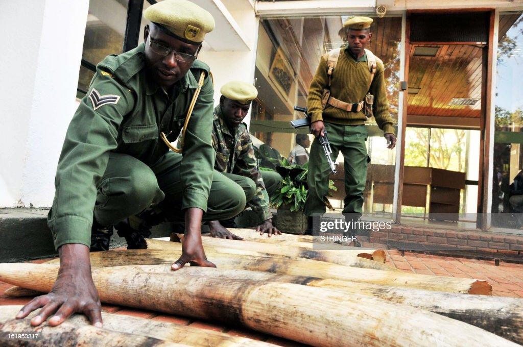 Kenya Wildlife Services (KWS) rangers move confiscated ivory in Nairobi on February 18, 2013. Two Tanzanian nationals were arrested with 16 pieces of ivory in Kenya's Ongata Rongai Township. They were travelling with a vehicle with a a false compartment under the back seat.With rare exceptions, trade in elephant ivory has been outlawed since 1989 after elephant populations in Africa dwindled from millions in the mid-20th century to some 600,000 by the end of the 1980s.