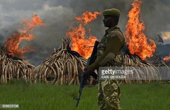 Kenya Wildlife Services rangers stand guard around illegal stockpiles of burning elephant tusks ivory figurines and rhinoceros horns at the Nairobi...