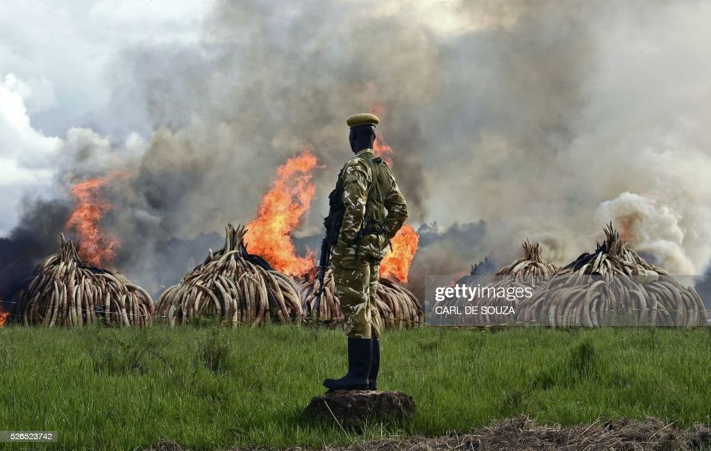 Kenya Wildlife Services (KWS) rangers stand guard around illegal stockpiles of burning elephant tusks, ivory figurines and rhinoceros horns at the Nairobi National Park on April 30, 2016. Kenyan President Uhuru Kenyatta set fire on April 30, 2016, to the world's biggest ivory bonfire, after demanding a total ban on trade in tusks and horns to end 'murderous' trafficking and prevent the extinction of elephants in the wild. / AFP / CARL