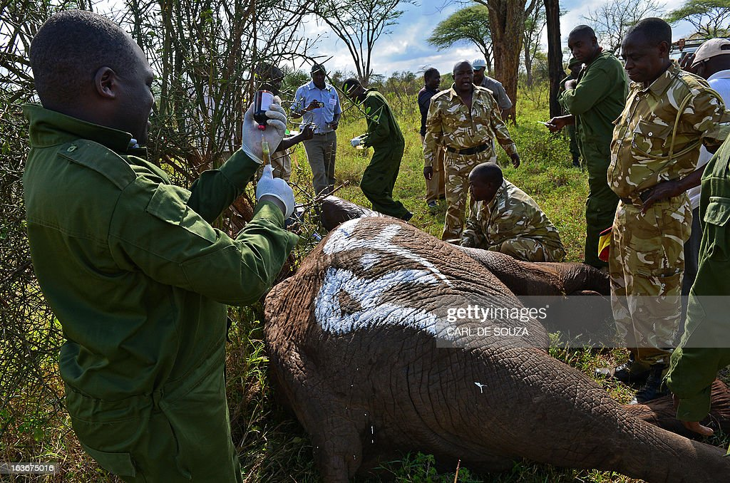 A Kenya Wildlife Services (KWS) vet adminsters a drug to tranquilsed wild elephant in Amboseli national park, Kenya on March 14, 2013. The International Fund for Animal Welfare (IFAW) School of Field Studies (SFS) and KWS partnered to fit tracking collars to elephants in and around Amboseli national park. The exercise has cost 100,000 USD and will monitor 6 elephants for 20 months in order ascertain migratory routes and other data. There are currently 60 collared elephants in Kenya of a total national elephant population of around 37,000. AFP PHOTO/Carl de Souza