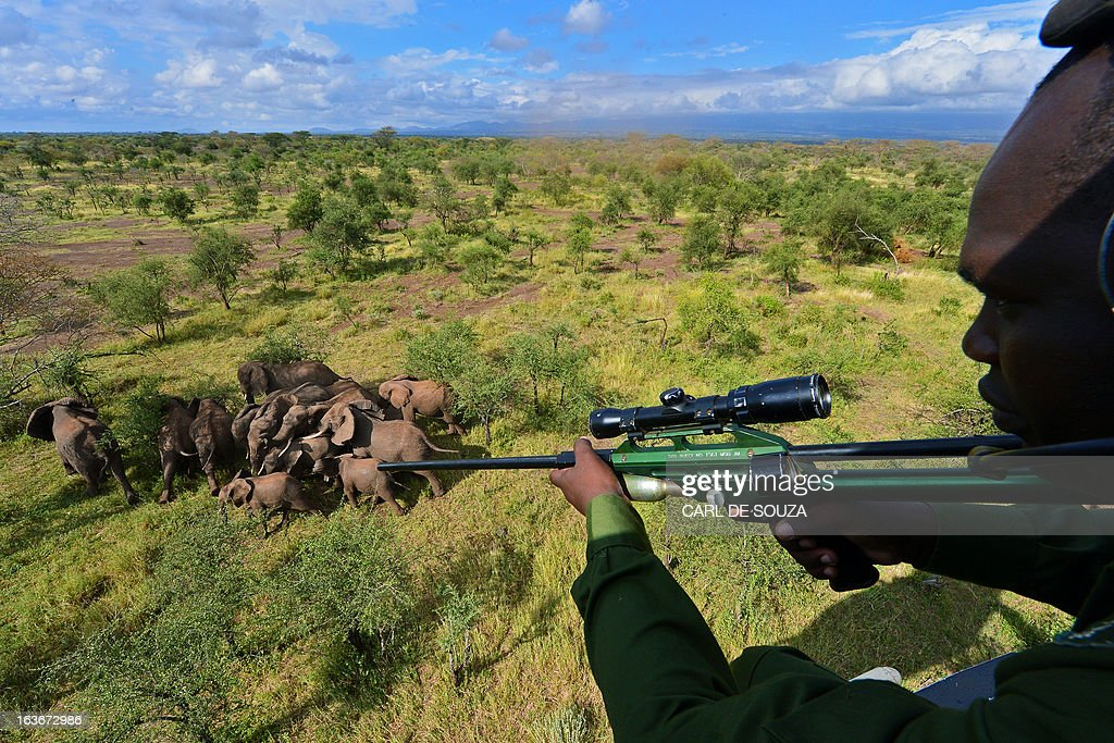 A Kenya Wildlife Services (KWS) vet aims a tranquiliser gun at wild elephants from a helicopter in Amboseli national park, Kenya on March 14, 2013. The International Fund for Animal Welfare (IFAW) School of Field Studies (SFS) and KWS partnered to fit tracking collars to elephants in and around Amboseli national park. The exercise has cost 100,000 USD and will monitor 6 elephants for 20 months in order ascertain migratory routes and other data. There are currently 60 collared elephants in Kenya of a total national elephant population of around 37,000. AFP PHOTO/Carl de Souza