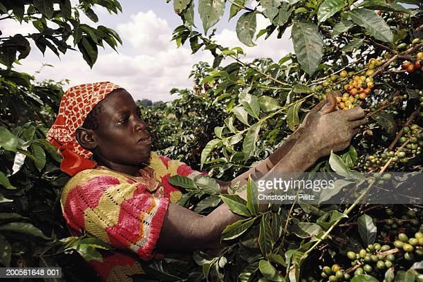 Kenya, woman picking coffee beans in field, upper half