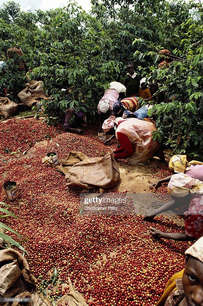 Kenya, women picking coffee beans